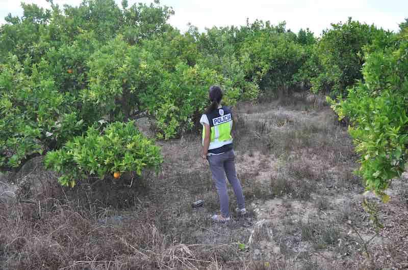 La Policía Nacional esclarece el robo de naranjas en Alzira. EPDA
