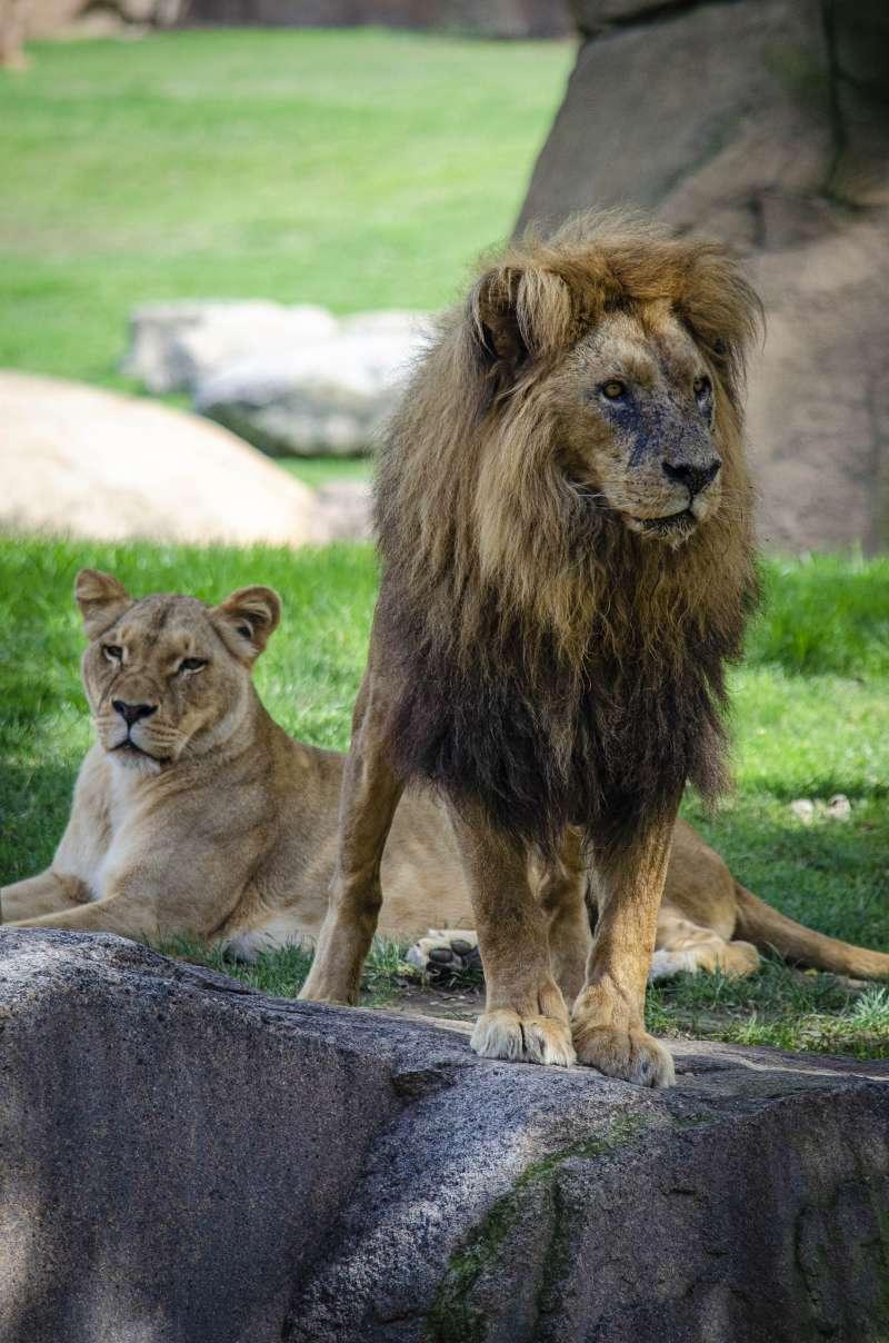 BIOPARC celebra el día del león.  BIOPARC VALÈNCIA