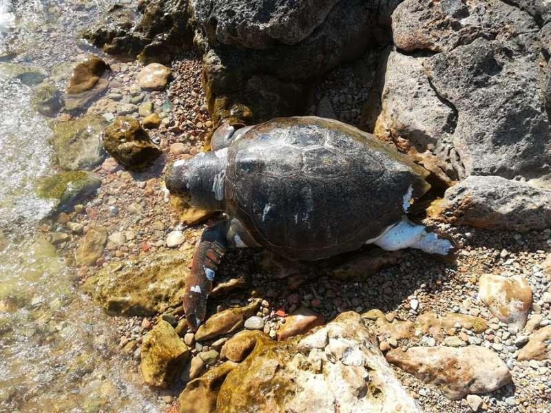 Imagen de la tortuga boba varada en Torrevieja. EFE/Ayuntamiento