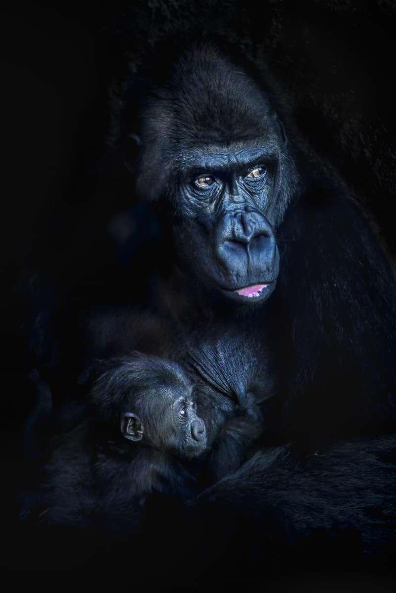 Los gorilas Fossey y Pepe de BIOPARC Valencia. EPDA