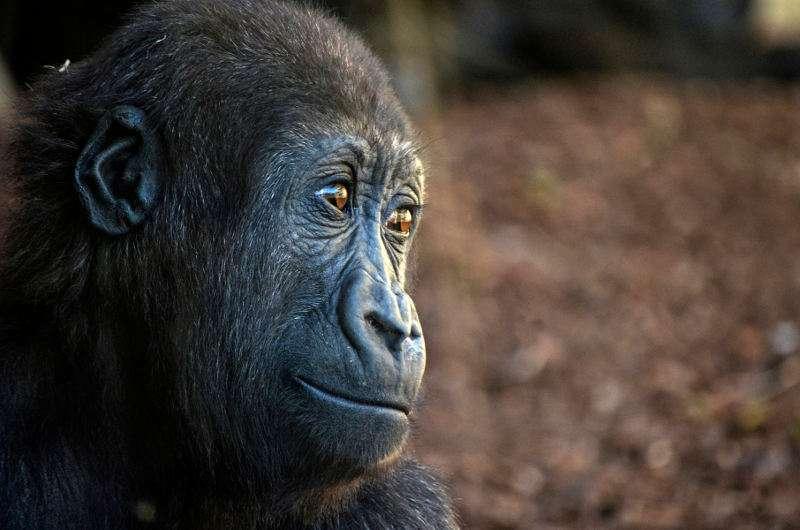 Ebo, el primer gorila nacido en la Comunitat Valenciana