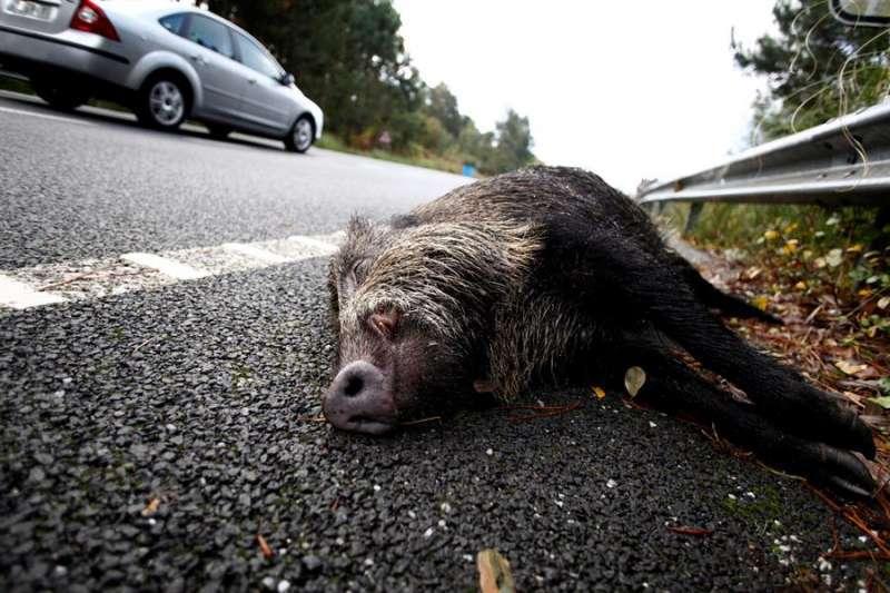 Un jabalí atropellado en la carretera de Ondara.