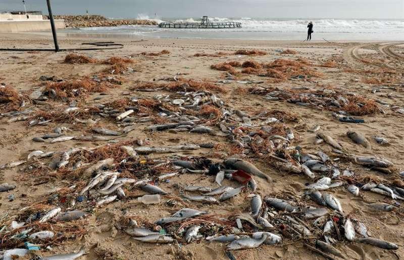 Miles de peces muertos en la playa de El Perelló. EFE/ Juan Carlos Cárdenas