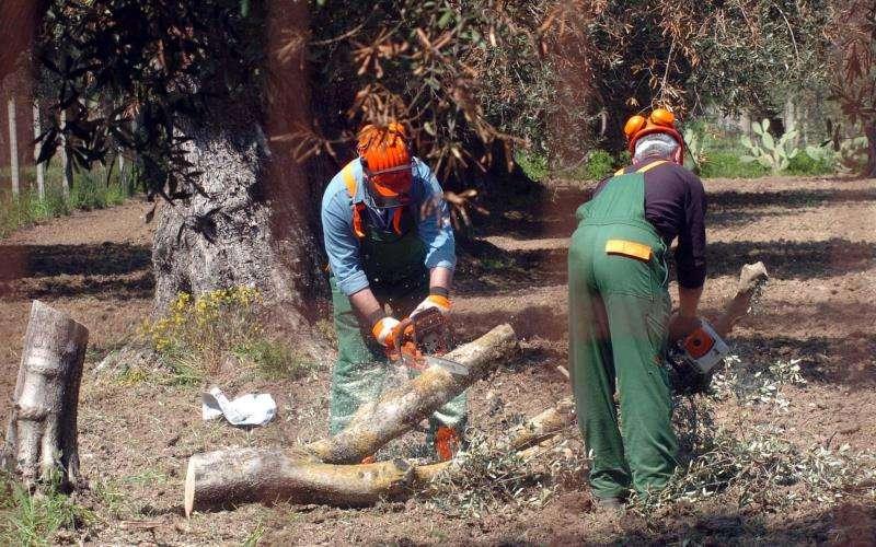 Dos personas talan árboles afectados por xylella. EFE/Archivo