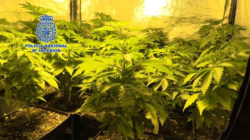 Plantación de marihuana interceptada por la policía