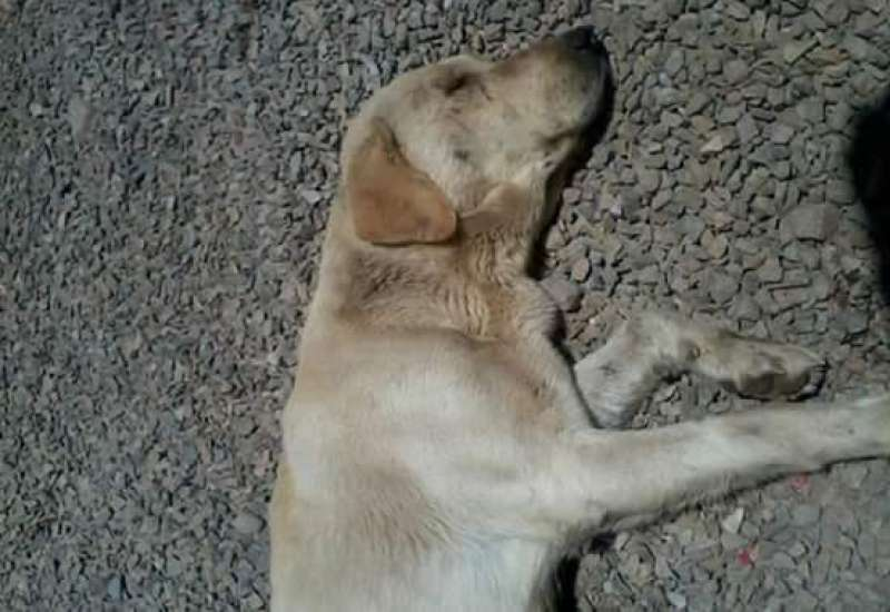 Uno de los cuatro perros envenenados de Massalfassar. EPDA
