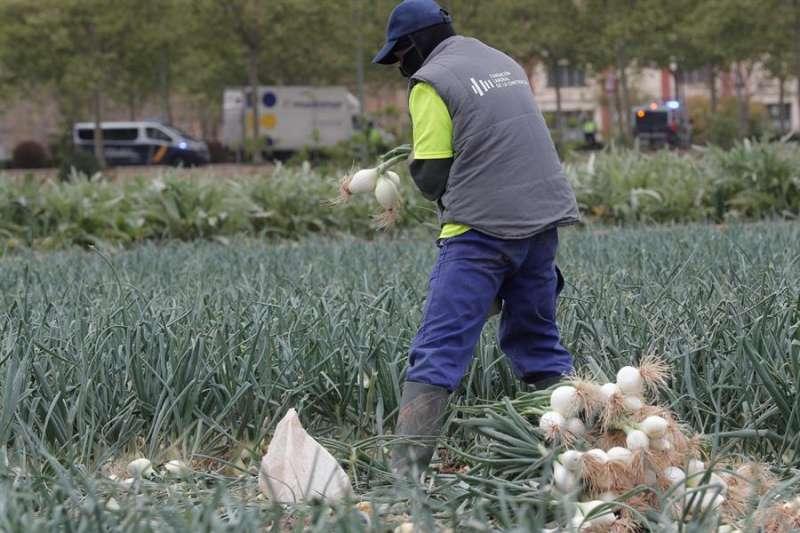 Un hombre trabaja en tareas de recolección en un campo de la huerta de Valencia. EFE/Kai Försterling/Archivo