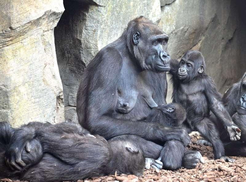Familia de gorilas. EPDA