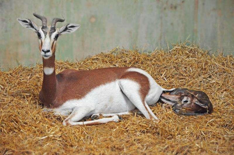 El nuevo habitante del Bioparc, en el momento que está dando a luz su mamá, en una imagen del parque.
