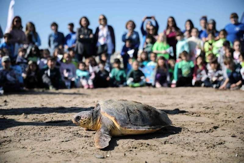 La tortuga busca su camino hacia el mar, este jueves en la playa de Las Arenas . EFE/Ana Escobar