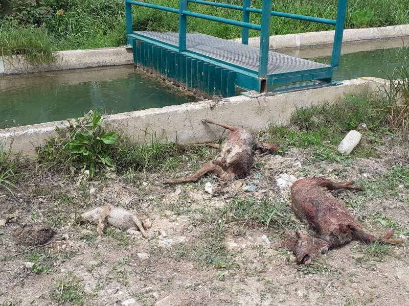 Cadáveres de erizo, jabalí y corzos extraídos del canal del Turia. EPDA