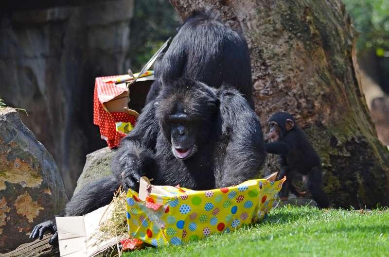 Coco disfruta de sus regalos en el Bioparc València. EPDA