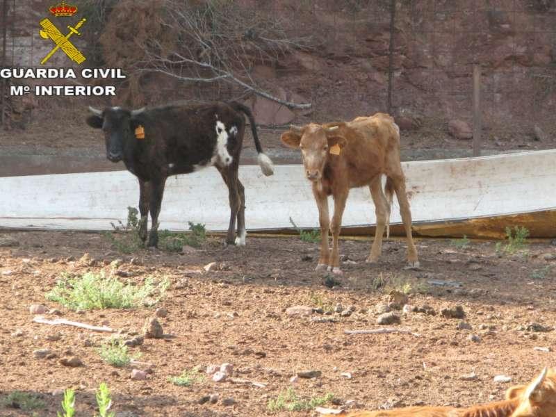 Dos de los animales de la explotación ganadera. EPDA