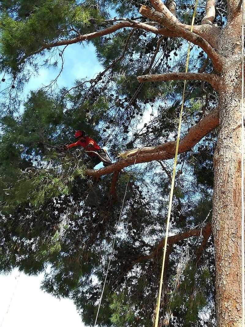 Poda en altura de uno de los pinos