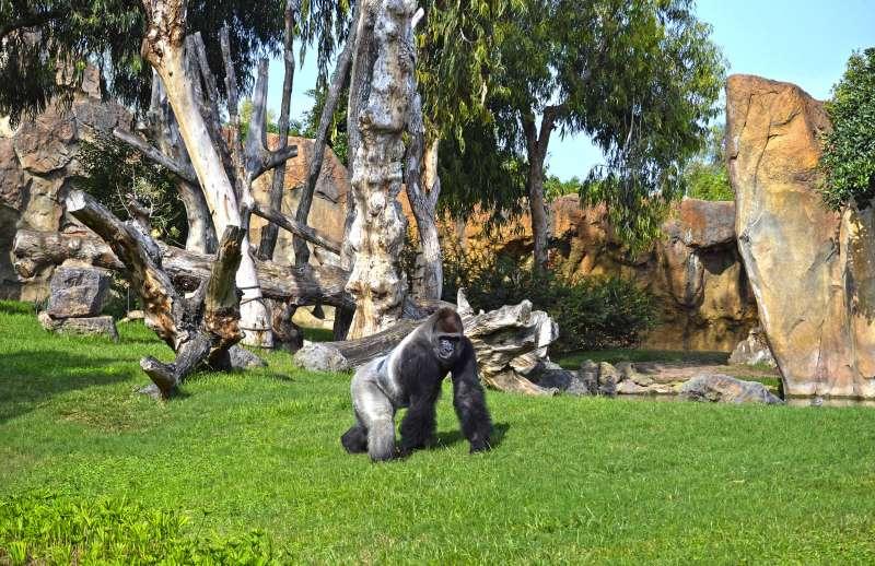 El gorila Thomas
