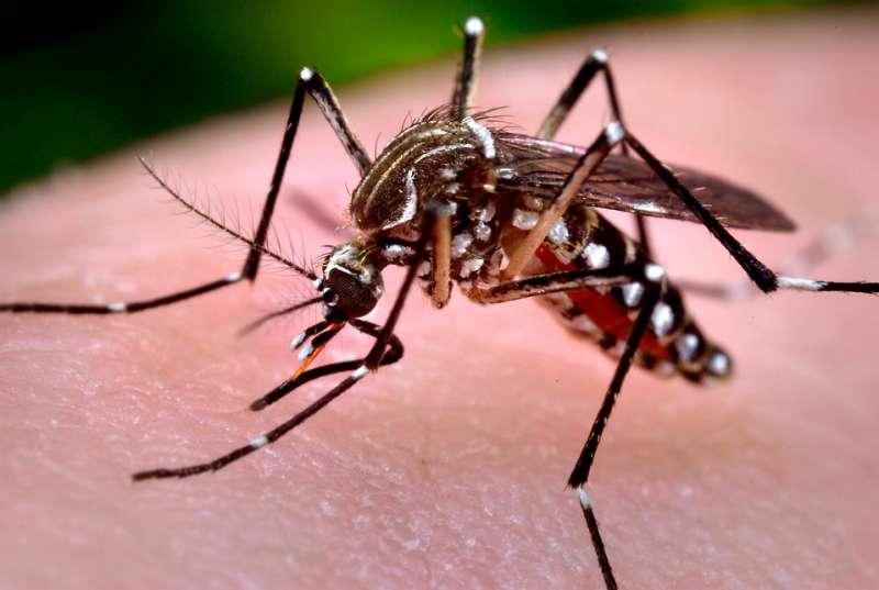 El mosquito es transportador de virus. EPDA
