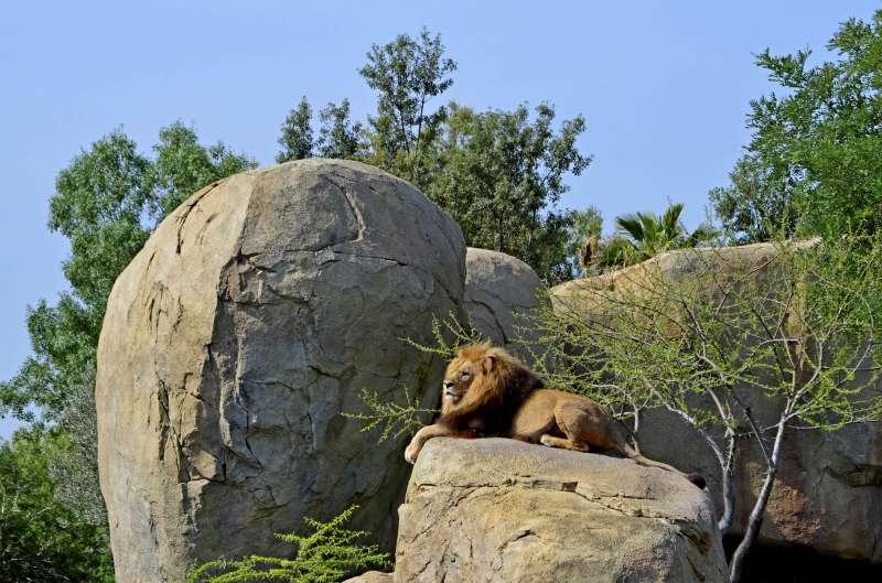 El león Teimoso en BIOPARC Valencia. EPDA