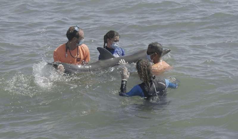 Los veterinarios de la Fundación Oceanogràfic atienden al delfín en mar abierto. EPDA