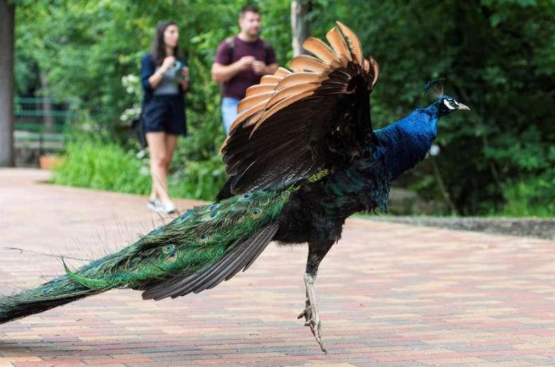 Imagen de un pavo real. EFE/Archivo