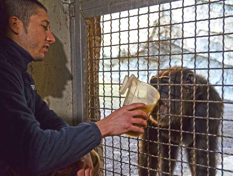 Uno de los cuidadores suministrando bebida calientes a uno de los primates del Bioparc. //EPDA