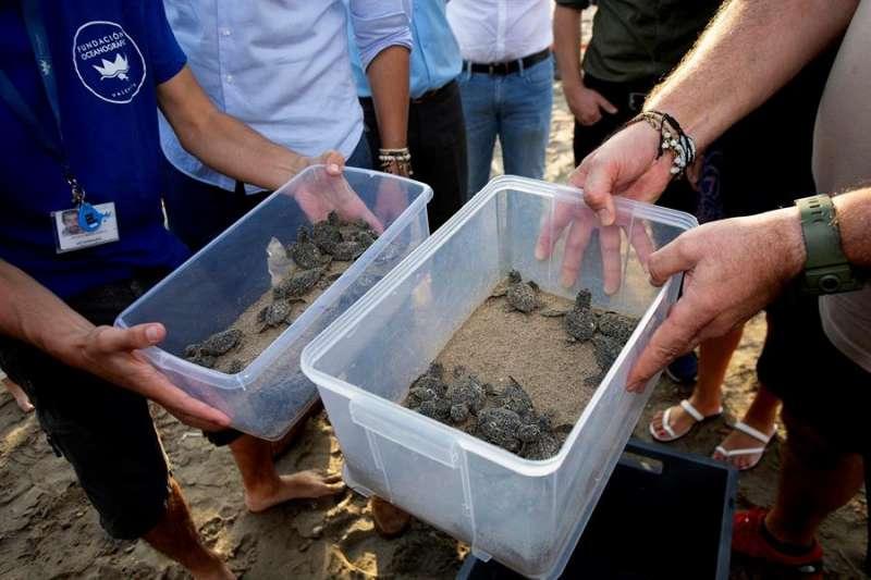 Imagen de archivo de una suelta de tortugas. EFE/Domenech Castelló/Archivo