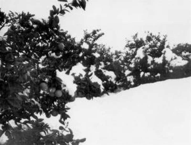 Imagen de archivo del año 1985 de nieve en cítricos de la provincia de Valencia. EFE