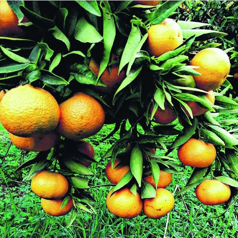 Maduración de la naranja. EPDA