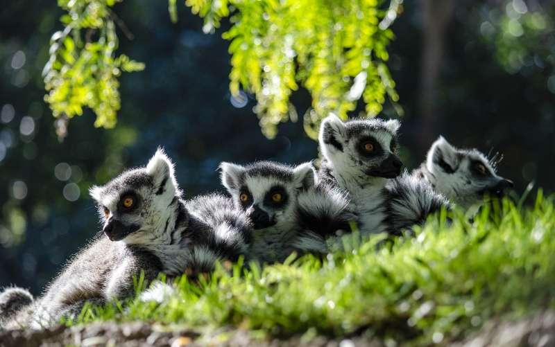 Lémures de cola anillada. EPDA