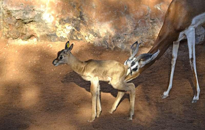 Nace en BIOPARC Valencia la 10ª gacela Mhorr, especie extinta en la naturaleza