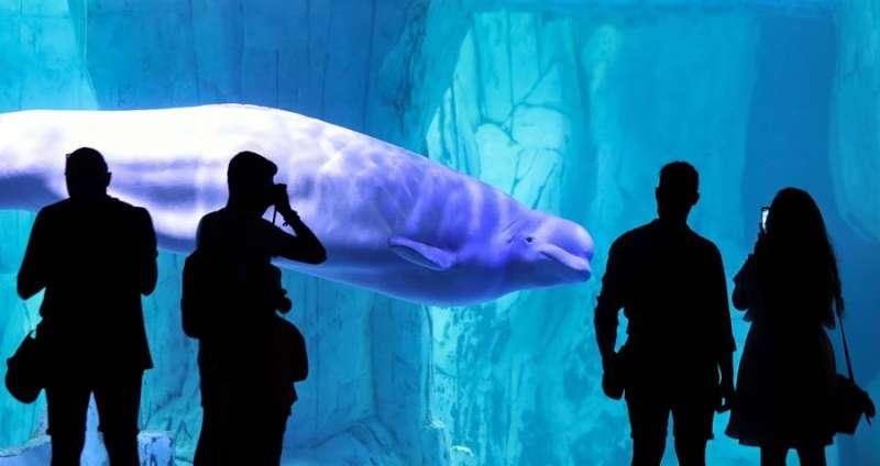 Varias personas contemplan una beluga en el Oceanogràfic de València. EFE/Ana Escobar/Archivo