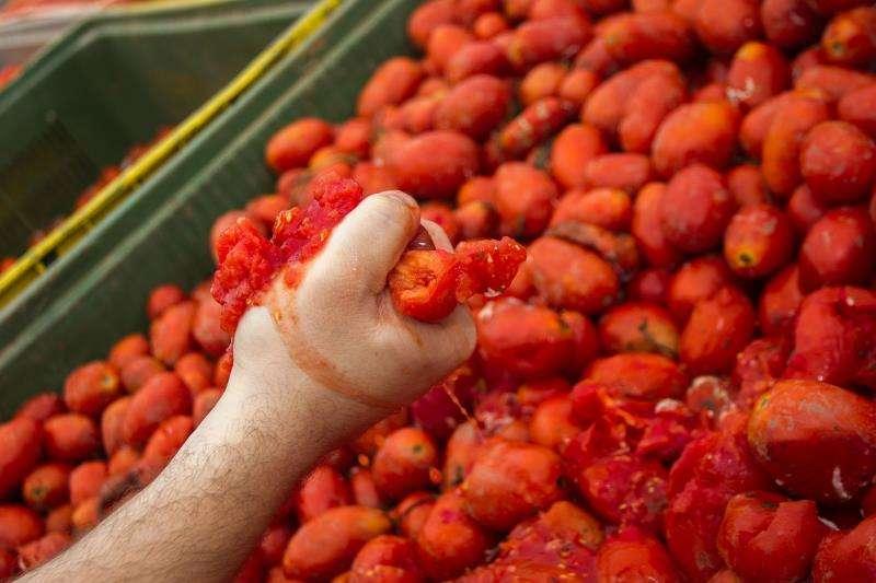En una imagen de esta mañana, los camiones cargan 145.000 kilos de tomate. EFE