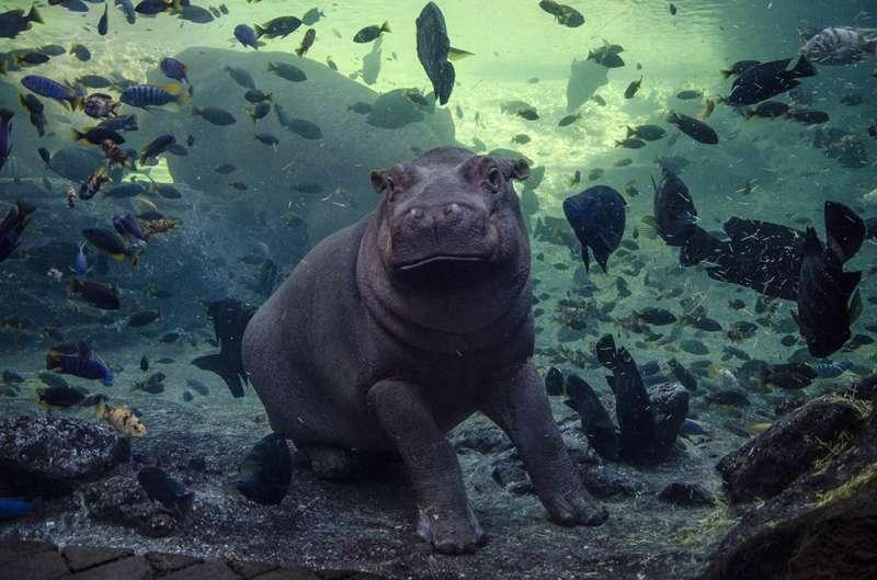 El bebe hipopotamo Gori