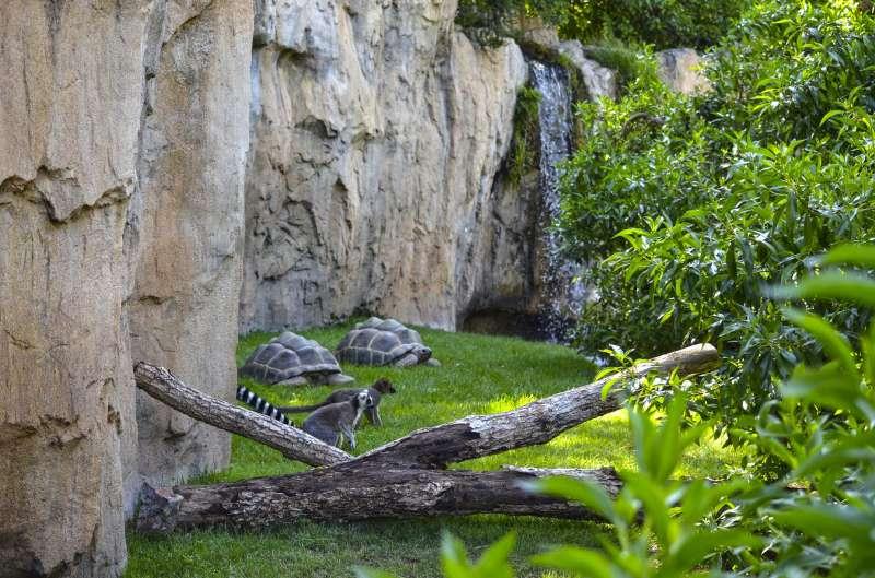 Tortugas de Aldabra y lémures en la isla de Madagascar de BIOPARC València. EPDA