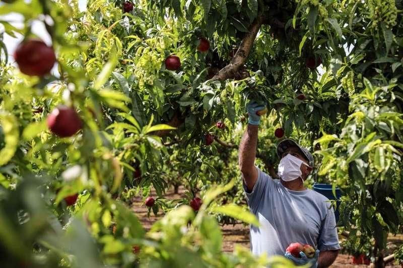 Un trabajador recolecta nectarinas en un campo en Carlet (Valencia). EFE/Ana Escobar/Archivo