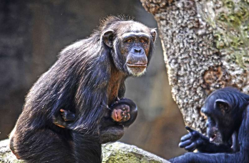 La chimpancé Noelia y su bebé nacido en BIOPARC Valencia. EPDA