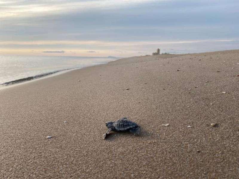 Imagen de archivo de una tortuga volviendo al mar.