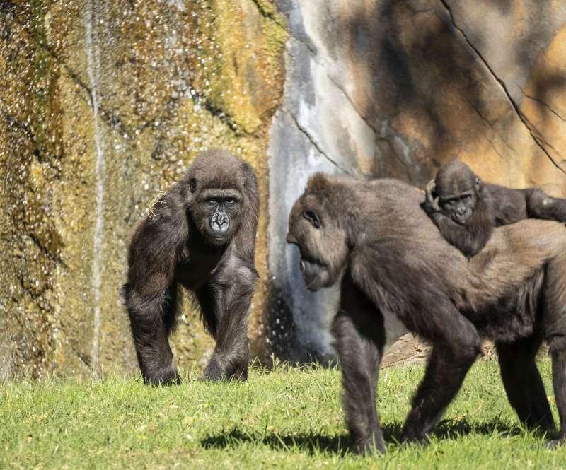 Ebo y otros gorilas