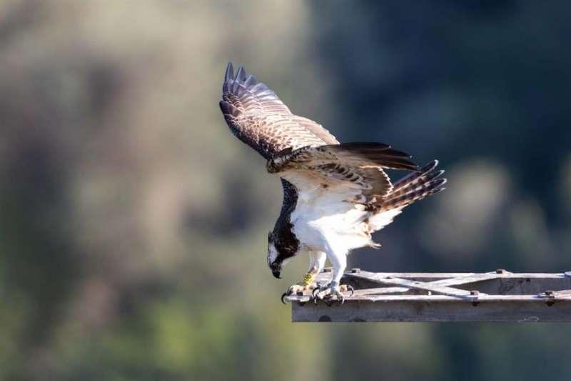 Imagen de un águila pescadora. EFE/ADENSVA