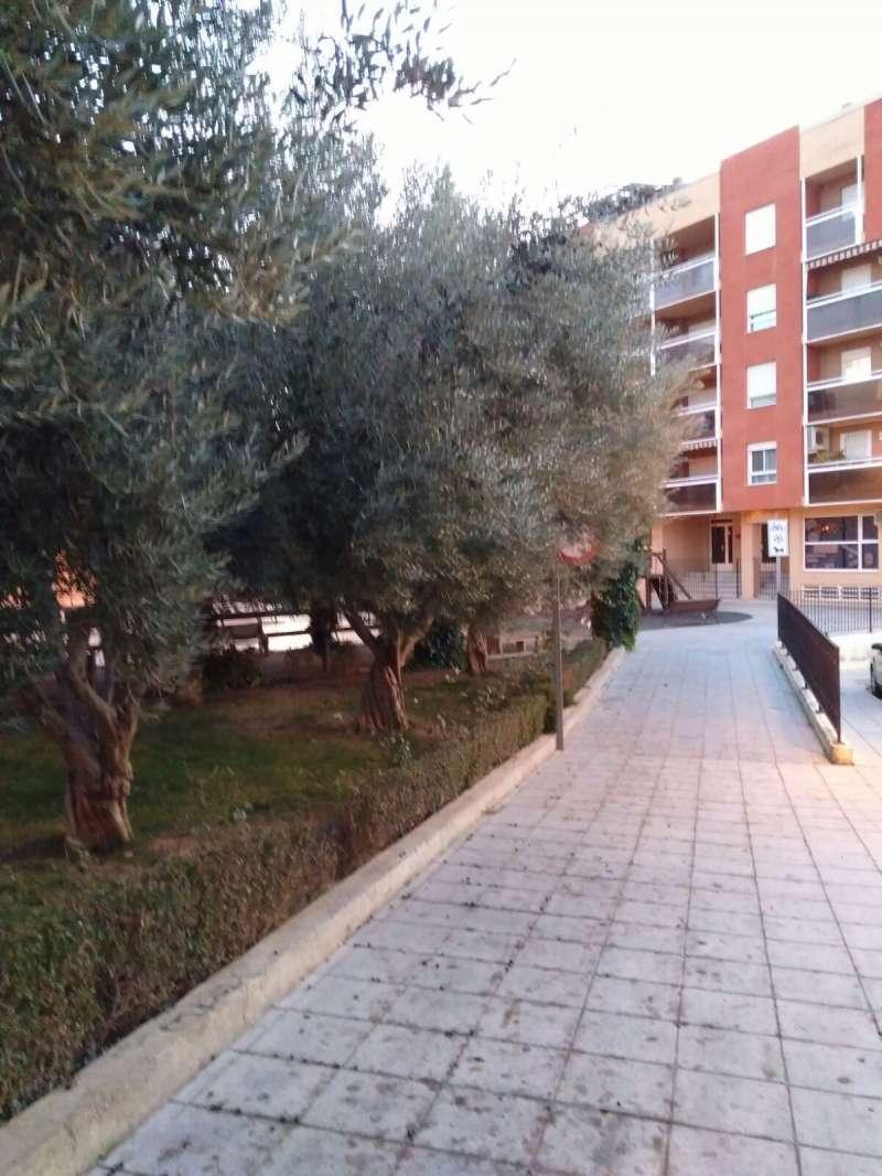 Aceras impregnadas del aceite de los olivos ornamentales