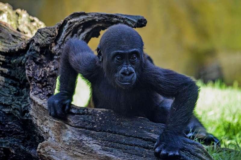 El gorila Pepe en el nuevo recinto BIOPARC Valencia. EPDA
