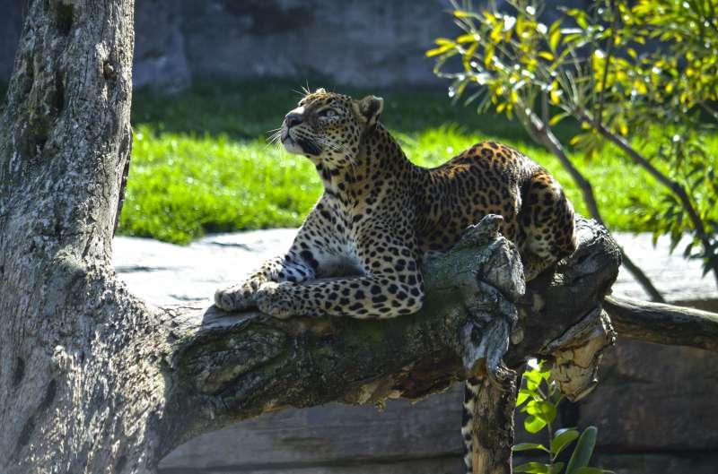 Leopardo de Bioparc Valencia