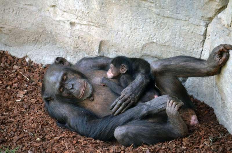 Madre y cría chimpancé recién nacida BIOPARC València. EPDA