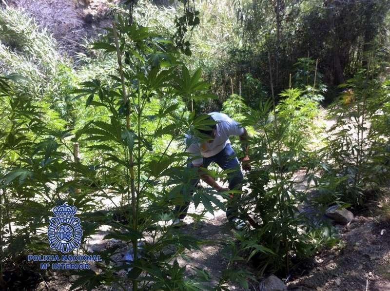 Fotografía de archivo facilitada por la Policía Nacional de una plantación de cannabis. EFE