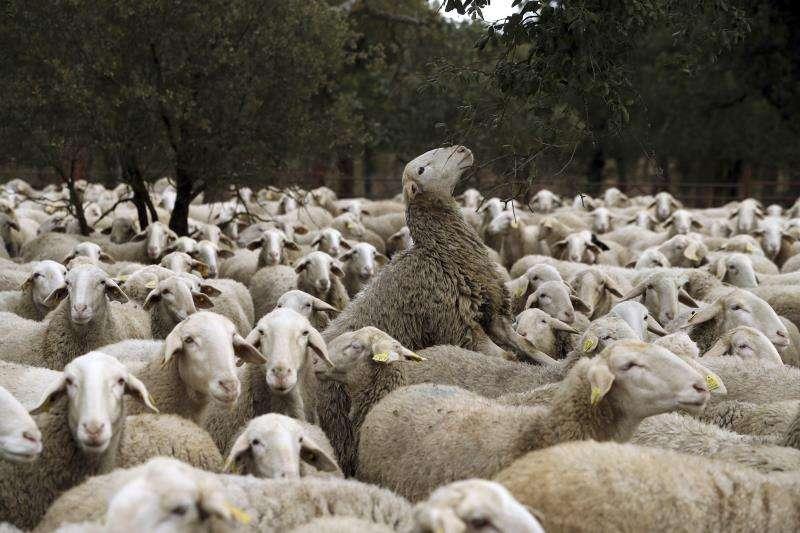 En la foto, rebaño de ovejas. EFE/Archivo