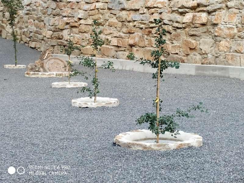 Plantación de cuatro ejemplares de Ginkgo Biloba en Montán.