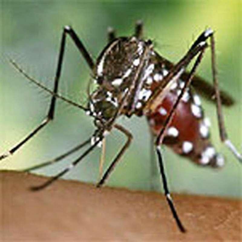 Imagen de un mosquito tigre (Aedes albopictus). EFE/Archivo