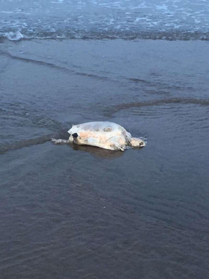 Tortuga muerta entre las playas de Almardà y Canet.