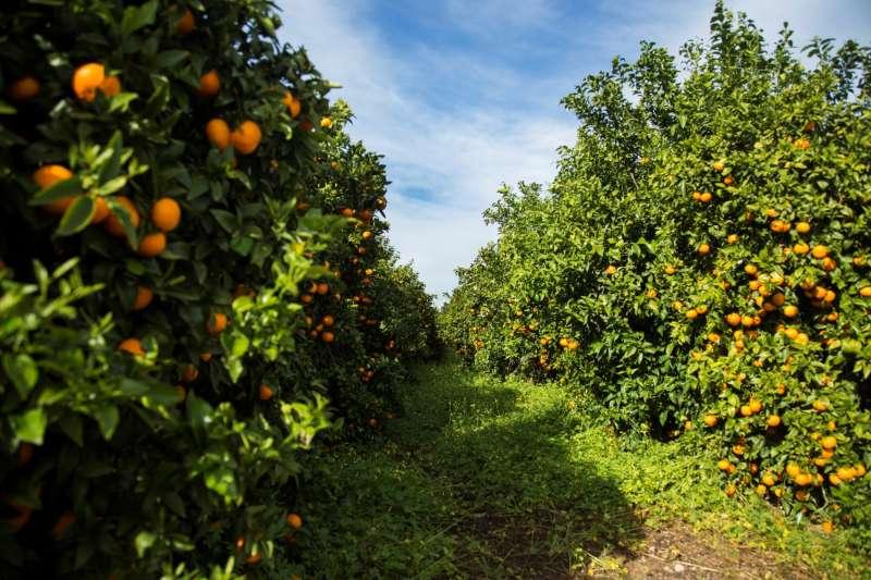 Imagen de un campo con mandarina Orri. -EPDA