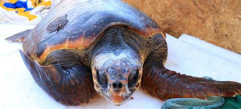 La tortuga rescatada, en una imagen facilitada por el Club Náutico El Campello. / EPDA