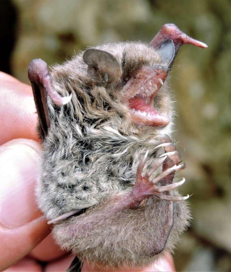 Especie autóctona de murciélago (Myotis capaccini). EFE/Ayuntamiento